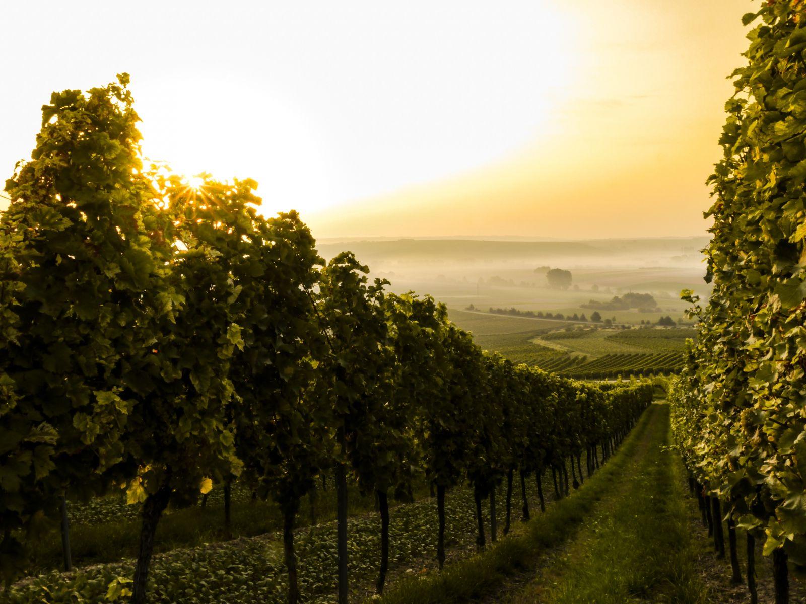 Продажа виноградников во франции дубай ростов